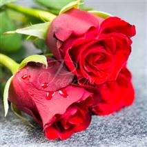 Cvijeće - ruže